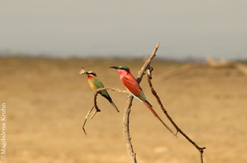 bee_eaters1