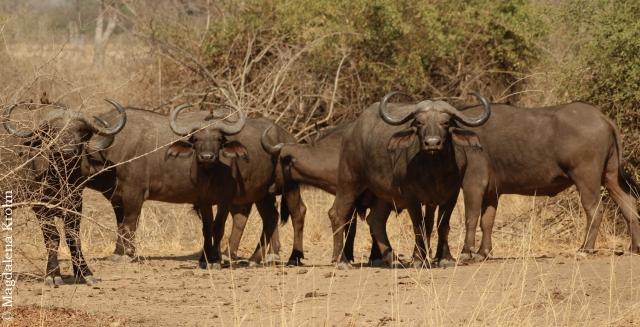 buffalo_herd
