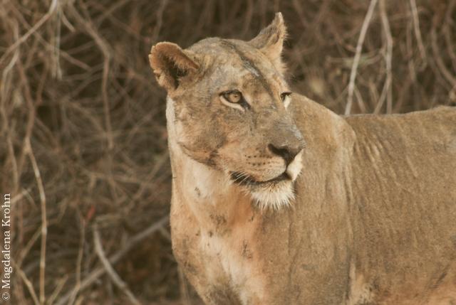lion_turned3