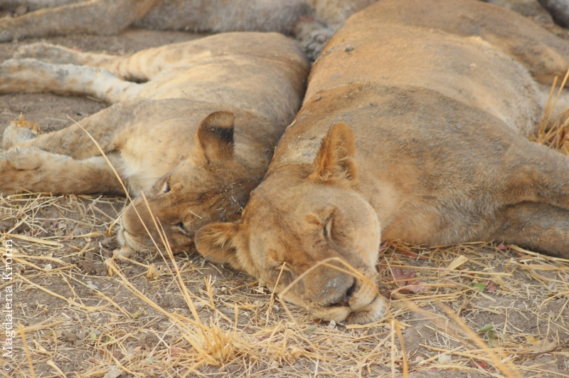 sleeping_cubs2