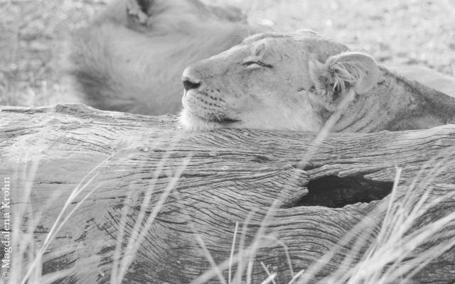 sleeping_lion2